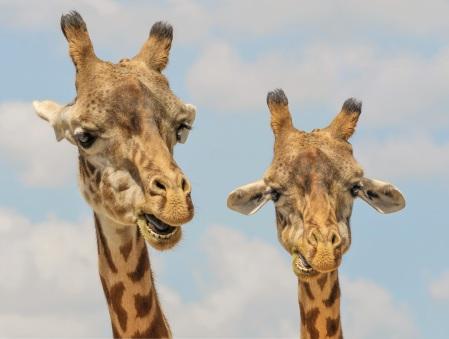 giraffe-animals-zoo-funny.jpg
